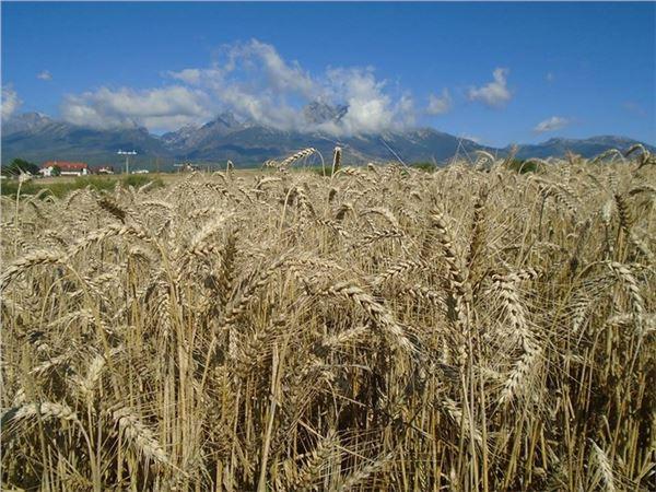 Pšenica ozimná